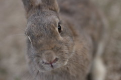 20180106_IMG_6689 (NAMARA EXPRESS) Tags: animal rabbit eye face okuno island cloudy daytime winter outdoor color okunoisland kasahara hiroshima japan canon eos 7d sigma 50mm f14 dg hsm art namaraexp