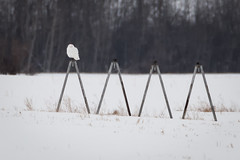 Snowy Owl (ingridvg) Tags: snowyowl owl snow male