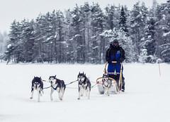 Huskies at work (Juhwie_Fotography) Tags: finland finnland finlandia huskies husky dogs sledge winter snow pentax pentaxart ngc scandinavia ricohimaging 77 77mmlimited limited limitedlens