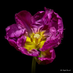 Purple tulip (Magda Banach) Tags: canon canon80d sigma150mmf28apomacrodghsm blackbackground colors flora flower macro nature plants purple purpletulip tulip