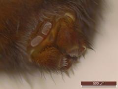 Amaurobius fenestralis (dhobern) Tags: 2018 amaurobiidae amaurobiusfenestralis araneae denmark europe gribskov january