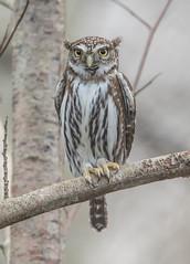 Northern Pygmy Owl-3614 (Geoffrey Shuen Photography) Tags: northernpygmyowl owl