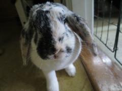 IMG_4159 (grindove) Tags: djur kanin