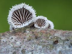 Spaltblättling (Schizophyllum commune) (dr.klaustrumm) Tags: spaltblättling schizophyllumcommune natur pilz wald winter holz zweig baum