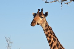 """""""Here's Looking Down On You Kid"""" (The Spirit of the World ( On and Off)) Tags: giraffe tall neck face expression wildlife nature portrait africa southafrica ngala timbavati safari gamedrive bluesky"""