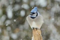 Blue Jay by Jackie B. Elmore 1-16-2018 Lincoln Co. KY (jackiebelmore) Tags: cyanocittacristata bluejay jay lincolnco kentucky nikon7100 tamronsp150600f563 jackiebelmore kos