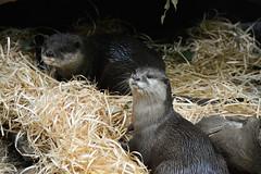 Asian Small-clawed Otters (Amblonyx cinereus) (Seventh Heaven Photography) Tags: oriental smallclawed otters small clawed asian amblonyx cinereus animals semiaquatic mammal zoo melbourne victoria australia nikond3200