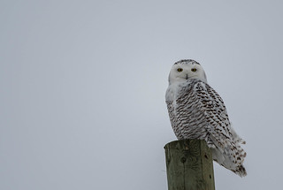 Harfang des neiges/Snow Owl -10778