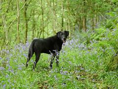 (yvonnepay615) Tags: panasonic lumix gh4 dog bluebells wales uk coth