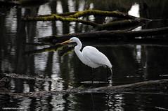 White Egret (JSB PHOTOGRAPHS) Tags: d2x290700001 egret whiteegret pond autzenstadium eugeneoregon nikon d2x water reflections recreation logs wildlife bird 18300mm
