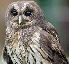 Startled (Kevin Pendragon) Tags: mottledowl screechowlsanctuary owl bird outdoors summer hunter brown dark grey black cornwall nature feathers sunshine
