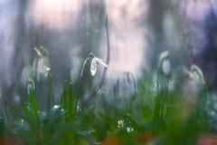 A delicate wildness (Ans van de Sluis) Tags: 2018 ansvandesluis january bokeh bokehlicious dreamy flora floral flower macro nature snowdrop winter