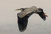 Great Blue Heron (Becky Matsubara) Tags: ardeaherodias avian bird birds bradfordisland california contracostacounty delta fishermanscut gbh grandhéron greatblueheron heron nature outdoors sanjoaquindelta wildlife