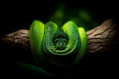 Green Tree Python (Greg @ Montreal) Tags: emeraldtreeboa coralluscaninus snake serpent boaémeraude animal animalincaptivity boa green vert moodygarden galveston rainforest wildlife texas usa unitedstates etatsunis closeup nikon nikonpassion d7100 moreliaviridis greentreepython python