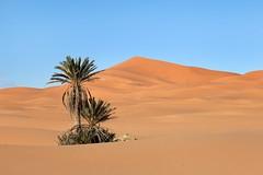 Palms in Desert (aivar.mikko) Tags: palms palmtrees palm tree trees ergchebbi desert dunes dune sahara merzouga sanddunes morocco erg chebbi sand moroccan desertlandscapes northafrica northafrican north africa african moroccanlandsacapes landscape africanlandscapes landscapes scenery scenic view