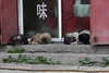 Straydogs in the streets of Tagong, Tibet (sensaos) Tags: china chinese tibet travel sensaos 2014 tagong kham region sichuan province straydogs dogs animal together lhagang