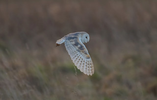 Barn Owl Norfolk 11-02-2018-2737