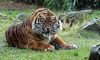 sumatran tiger Alia Blijdorp BB2A8485 (j.a.kok) Tags: tijger tiger sumatraansetijger sumatrantiger pantheratigrissumatrae kat cat animal asia azie sumatra mammal zoogdier dier predator blijdorp emas alia