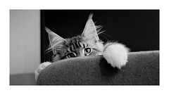 Hi! I'm Nesquick (Kimoufli) Tags: maincoon mainecoon mainecooncat cat chat gato gatto katz kitty kitten animal animaldecompagnie chaton