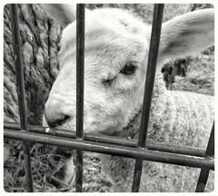 I want to break free... #animal #animals #lamb #lammetje #lam #blackandwhite #blacknwhite #bnw #bw #bws #noir #monochrome #zwartwit #colorless #lovephotography #photographer #photography #fotograaf #fotografie #inside (Chantal vander Reijden) Tags: colorless blacknwhite zwartwit bnw inside lovephotography fotografie fotograaf lammetje blackandwhite bw lamb monochrome animal lam noir photographer animals photography bws