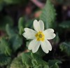 Early Primrose (ekaterina alexander) Tags: early primrose winter white yellow flower primula wild flowers ekaterina alexander nature photography pictures england sussex