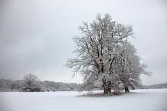 oaks (bkellerstrass) Tags: oak oaks eiche eichen winter