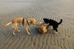 Puppy Attack!..x (Lisa@Lethen) Tags: dogs puppy collie labrador pet beach walk