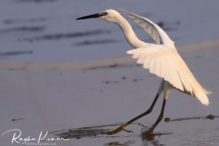 Wildlife @ Kovalam Beach, India