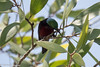 Leptocoma brasiliana (Van Hasselt's Sunbird) (GeeC) Tags: animalia aves birds cambodia chordata kohkongprovince leptocoma leptocomabrasiliana nature nectariniidae passeriformes passerines sunbirds tatai vanhasseltssunbird gallery