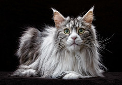 Please! (cindiefearnall) Tags: petphotography petportrait backlight studiolighting cat mainecoon silverandwhite classictabby feline longhaired