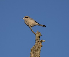 Northern Shrike (Lanius borealis) (mesquakie8) Tags: bird shrike sittingonadeadsticktree hunting ahyjuvenile northernshrike laniusborealis nosh mcdavittroad saxzimbog stlouiscounty minnesota 0668