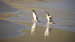 Gentoo Penguins (richard.mcmanus.) Tags: gentoopenguin penguins antarctica subantarcticislands falklands falklandislands malvinas birds animals saundersisland mcmanus