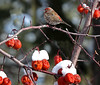 Crabapples on today's menu (windyhill623) Tags: bird songbird finch housefinch haemorhousmexicanus winter avian snow fauna shrub crabapple afternoon outdoor animal profile red