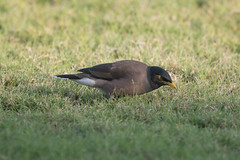 Common Myna at Mirbat S24A5626 (grebberg) Tags: commonmyna acridothersstristis acridotheres myna bird marriottresort mirbat dhofar oman december 2027