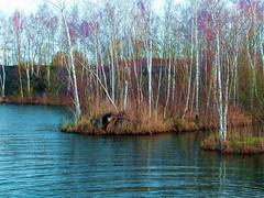 2018-01-17 Rieulay (23)bouleaux-Birch trees (april-mo) Tags: rieulay village hautsdefrance naturepark parcnaturelduhainaut birchtrees