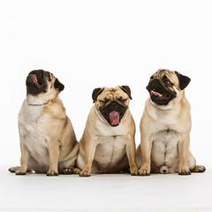 5d6d0d13495733.562b46180942f (Khanghoang2003) Tags: pippa pugs star theo animal dog mask onwhite studio three toy ellsworth wisconsin unitedstates