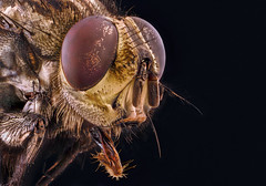 Golden flake Fly (John Joslin) Tags: a7 fly close extreme antenna insect focus stack stacking closeup delicate eyes hairy little jaw skin macro zhongyi nature portrait sony small tiny wildlife