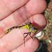 Piedmont clubtail (Hylogomphus parvidens) - rare