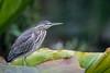 Socozinho (Butorides striata) Striated Heron (Eden Fontes) Tags: butoridesstriata aves riodejaneiro birds jb jardimbotânico rj socozinho striatedheron jbrj