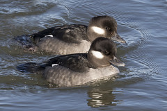 Buffleheads at Indian River Inlet....6O3A6327A (dklaughman) Tags: bufflehead duck indianriverinlet delaware
