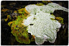 I'm Lichen Sliders Sunday (JulieK (thanks for 6 million views)) Tags: topazglow 2018onephotoeachday lichens rock seashore duncannonbeach wexford ireland irish sliderssunday hss flora nature beautiful colour macro