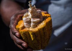 2017 - Regent Cruise - Grenada - Cocoa Bulb (Ted's photos - For Me & You) Tags: 2017 cropped grenada nikon nikond750 nikonfx regentcruise stgeorge's tedmcgrath tedsphotos vignetting trinitariococoa cocoa bulb cocoabulb plant