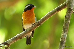 Mugimaki Flycatcher (markus lilje) Tags: markuslilje thailand khaoyainp bird birds birding forest flycatcher mugimakiflycatcher ficedulamugimaki