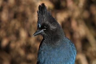 Cyanocitta stelleri (Steller's Jay) - WA USA