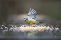 Blue Tit Take Off (www.neilporterphotography.com) Tags: