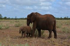 famille éléphants South africa4597 (ichauvel) Tags: éléphants bébé baby animauxsauvages widleanimals faune fauna mamiphéres parckruger krugerpark savane janvier january tendresse getty