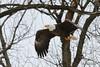 taking off (Kamil Dziedzina Photos) Tags: eagle american bald americanbaldeagle birdsofprey