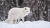 Arctic Fox : Winter at Parc Omega : February 11, 2018 (jpeltzer) Tags: ottawa montebello quebec parcomega winter arcticfox