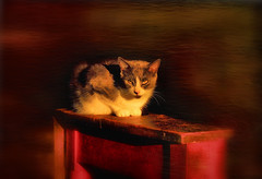 Sunset (LupaImages) Tags: sun sunset kitchen cat feline animal pet bright fur face whiskers soft light yellow indoors inside family