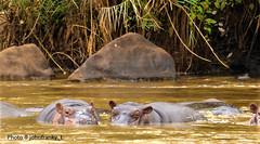 Safari-Tsavo National Park-Kenya (21) (johnfranky_t) Tags: ippopotamo johnfranky t kenya kenia tsavo national park africa panasonic tz40 massi fiume acqua river orecchie occhi mammiferi canne savana hippopotamus ears eyes mammals canes